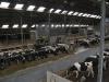 melkveehouderij-de-jong-46