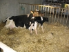 melkveehouderij-de-jong-12