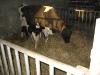 melkveehouderij-de-jong-13