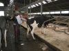 melkveehouderij-de-jong-51
